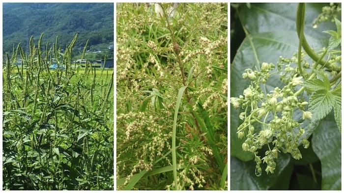 花粉症を引き起こす植物と飛散シーズン