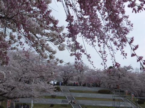 天童公園(舞鶴山)の桜 花見情報2019   最新の桜開花予想、花見 ...