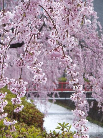 倉津川枝垂桜