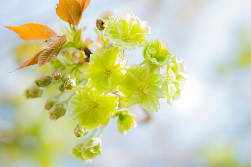 緑色の桜を知っていますか?花びらの緑の正体は葉緑素江戸時代、京都の仁和寺が発祥参考資料など