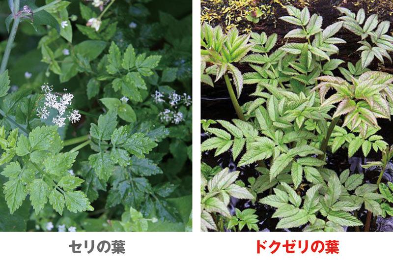 GWも注意! 春の山菜採りで間違えやすい有毒植物3選 - ウェザー ...