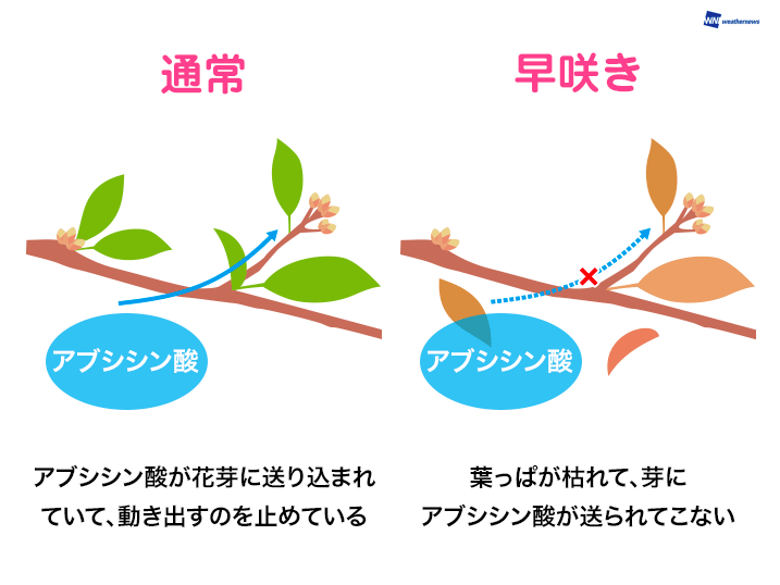 桜が遅咲きする原因