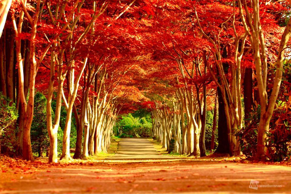 冬へと続く、紅葉のトンネル北海道や東北の市街地も見頃 季節は冬の入口へ参考資料など