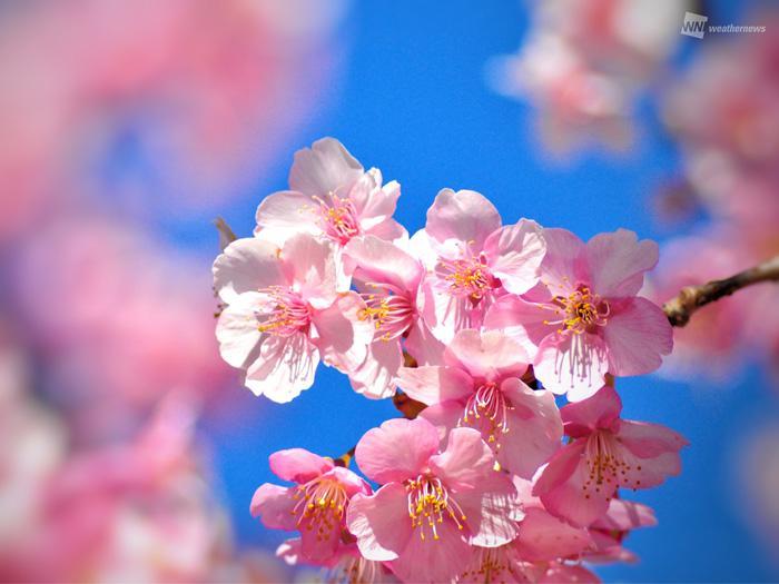 名所 河津 桜