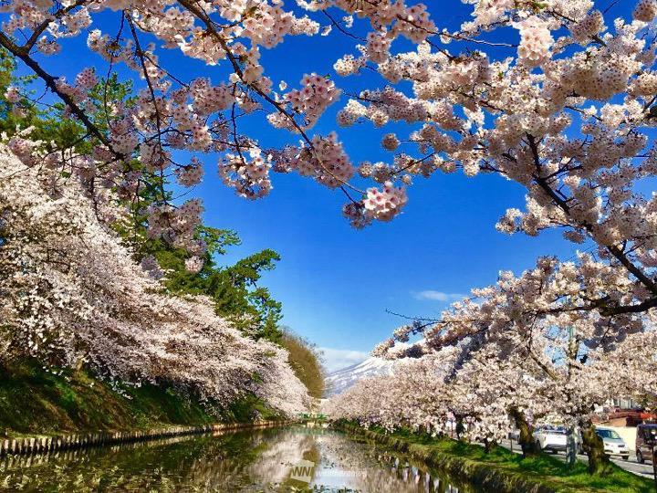 【桜開花予想2019】青森・弘前公園はGW初日に満開へ 来週には ...