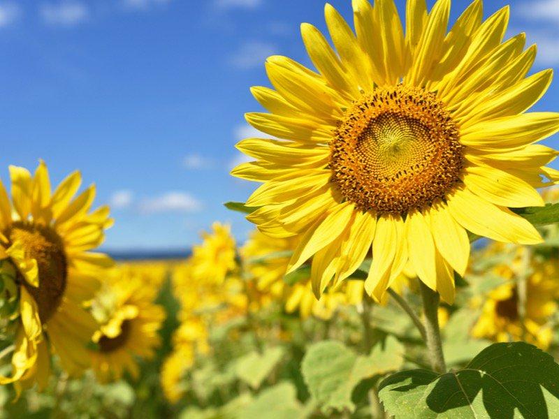 太陽の花「ひまわり」の様々な秘密とは - ウェザーニュース