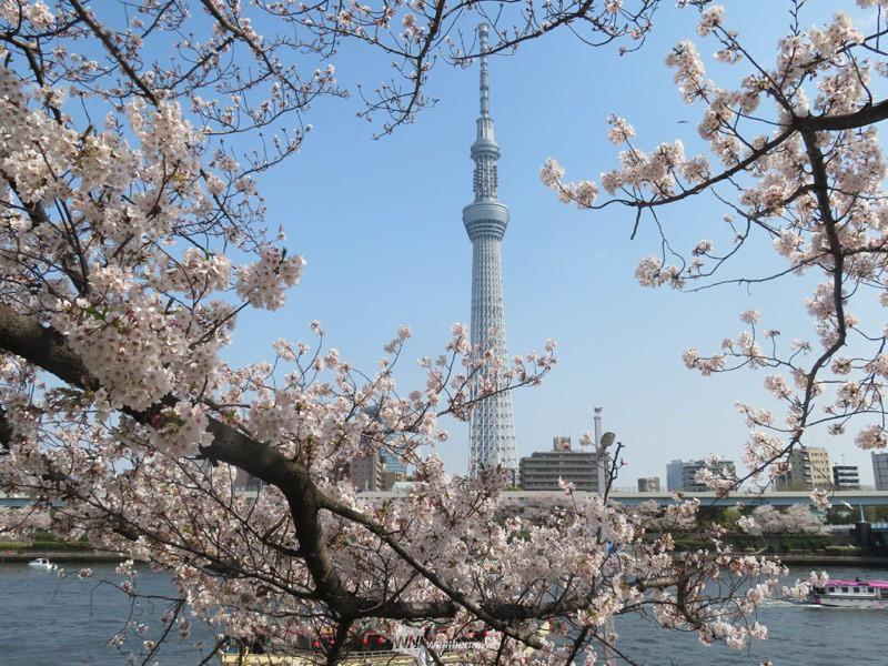 名古屋 桜 開花 2020