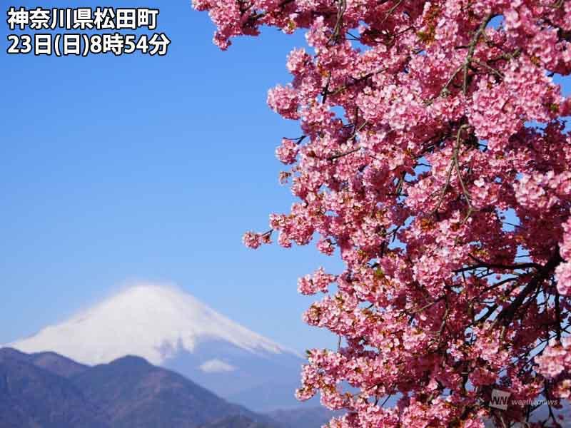 河津 桜 県 神奈川