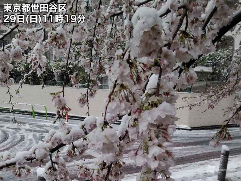 東京は桜満開後に積雪 1969年以来51年ぶり - ウェザーニュース