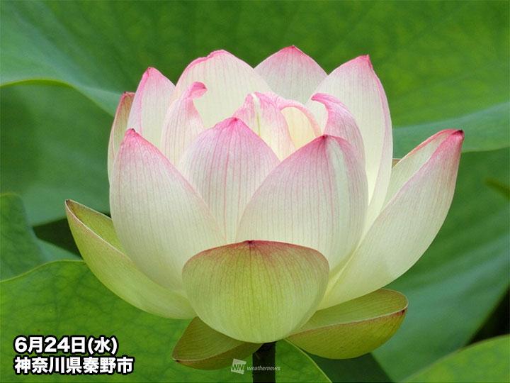 七十二候「蓮始開」 朝に咲くハスの花の魅力 - ウェザーニュース