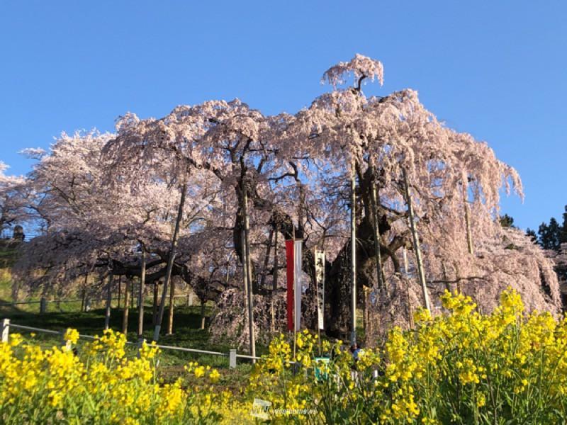 開花 予想 2021 桜
