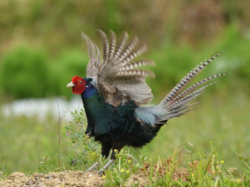 七十二候【雉始雊】 日本の国鳥の強さ - ウェザーニュース