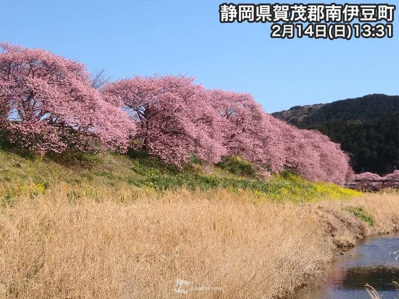 河津 桜 伊豆