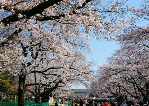 東京 桜 満開 2020